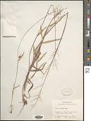 view Dichanthelium oligosanthes (Schult.) Gould digital asset number 1
