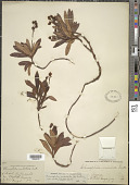 view Chimaphila umbellata (L.) W.P.C. Barton digital asset number 1