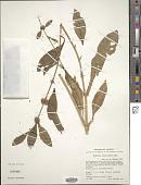 view Buddleja sessiliflora Kunth digital asset number 1