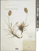view Astragalus lagopoides Lam. digital asset number 1