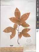 view Fagus grandifolia subsp. grandifolia digital asset number 1