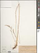 view Festuca rubra L. digital asset number 1
