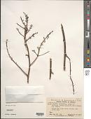 view Lindmania argentea L.B. Sm. digital asset number 1