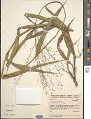 view Homolepis glutinosa (Sw.) Zuloaga & Soderstr. digital asset number 1