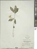 view Ruellia caroliniensis (J.F. Gmel.) Steud. digital asset number 1