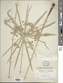 view Cyperus involucratus Rottb. digital asset number 1