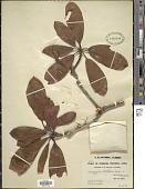 view Rhododendron houlstonii Hemsl. & E.H. Wilson digital asset number 1