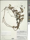 view Nepsera aquatica (Aubl.) Naudin digital asset number 1