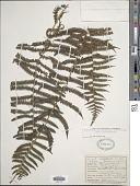 view Christella hispidula (Decne.) Holttum digital asset number 1