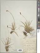 view Carex umbrosa Host digital asset number 1