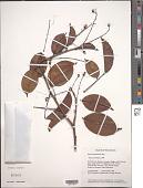 view Rourea surinamensis Miq. digital asset number 1