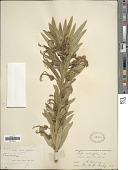 view Lobelia salicifolia Sweet digital asset number 1