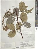 view Clitoria arborescens Aiton digital asset number 1