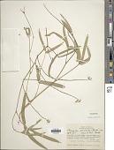 view Macroptilium prostratum (Benth.) Urb. digital asset number 1