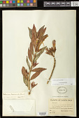 view Columnea lepidocaula Hanst. digital asset number 1