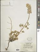 view Lupinus excubitus M.E. Jones digital asset number 1