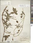 view Merremia aegyptia (L.) Urb. digital asset number 1