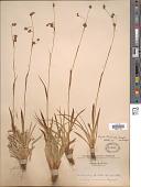 view Luzula tundricola (Gorodkov) V. Vassil. digital asset number 1