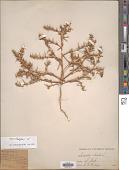 view Salsola pestifer A. Nelson digital asset number 1