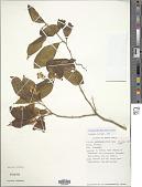 view Polygala arillata Buch.-Ham. ex D. Don digital asset number 1