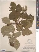 view Rubus neomalacus Sudre digital asset number 1