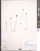 view Burmannia bicolor Mart. digital asset number 1