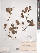 view Peperomia latifolia Miq. digital asset number 1