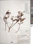 view Calceolaria microbefaria Kränzl. subsp. microbefaria digital asset number 1