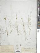 view Carex bohemica Schreb. digital asset number 1