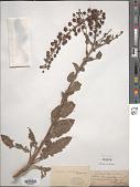 view Celsia coromandelina J. Koenig ex Rottb. digital asset number 1