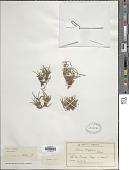 view Carex berggrenii Petrie digital asset number 1