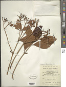 view Syzygium fastigiatum (Blume) Merr. & L.M. Perry digital asset number 1