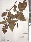 view Annona senegalensis Pers. digital asset number 1