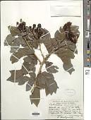 view Calliandra falcata Benth. digital asset number 1