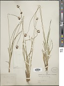 view Carex festiva Dewey digital asset number 1