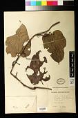 view Pararistolochia promissa (Mast.) Keay digital asset number 1
