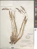 view Calamagrostis purpurascens Aiton digital asset number 1