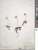 view Micranthes eriophora (S. Watson) Small digital asset number 1