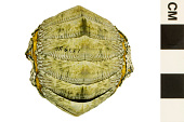 view Common West Indian Chiton, West Indian Chiton digital asset number 1