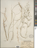view Eragrostis leptostachya digital asset number 1