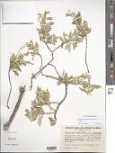 view Nototrichium sandwicense (A. Gray) Hillebr. digital asset number 1
