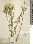 view Sericocarpus oregonensis var. californicus (Durand) G.L. Nesom digital asset number 1
