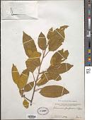 view Rhamnus purpurea Edgew. digital asset number 1