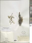 view Diphysa occidentalis Rose digital asset number 1