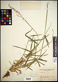 view Ehrharta calycina digital asset number 1