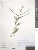 view Cleome monophylla L. digital asset number 1