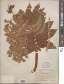 view Hagenia abyssinica (Bruce) J.F. Gmel. digital asset number 1