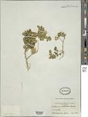 view Solanum rostratum Dunal digital asset number 1
