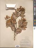 view Chrysolepis sempervirens (Kellogg) Hjelmquist digital asset number 1