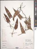 view Dioscorea abyssinica Hochst. ex Kunth digital asset number 1